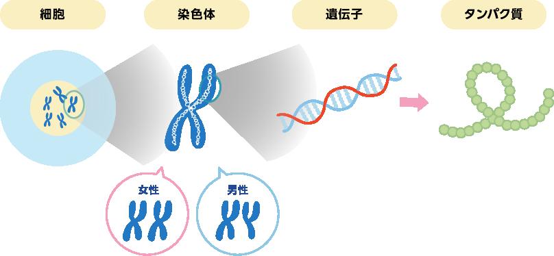 デュシェンヌ型筋ジストロフィーとは?  DMDを知る   日本新薬株式会社